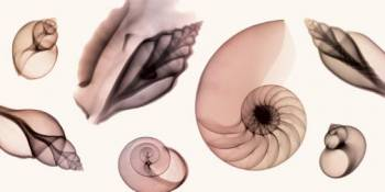 SHELL COLLECTION (SEPIA)